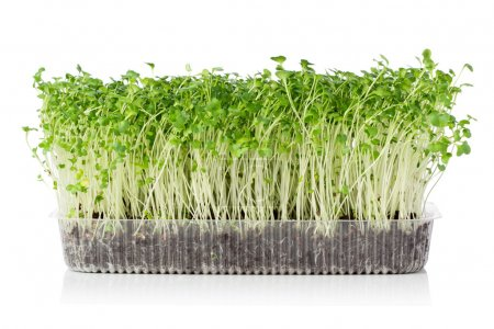 Photo for Growing microgreens - Royalty Free Image