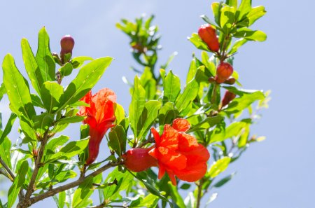 Branches of summer blossoming pomegranate