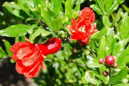 Vivid red spring pomegranate blossom