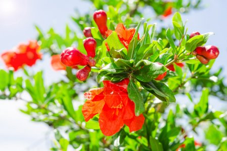 Bush of vibrant pomegranate spring