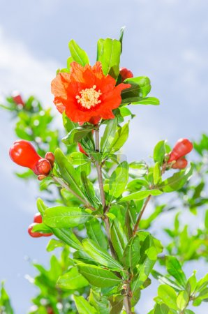 Pomegranate tree blooming with red flowers