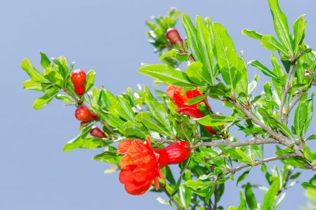Branches of spring blossomin pomegranate