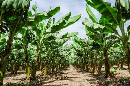 Photo pour Sentier ensoleillé perspective entre rangées d'arbres palm banane dans la plantation de vergers avec feuillage luxuriant - image libre de droit