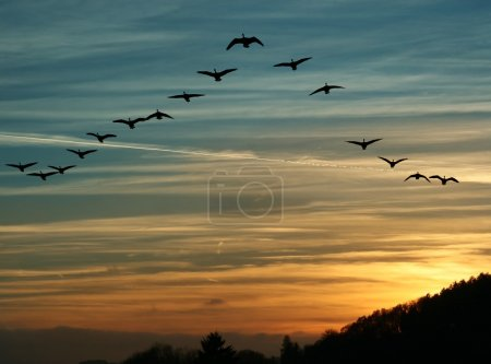 Flock of migrating canada geese flying at sunset i...