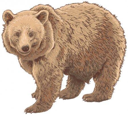 Illustration pour Illustration vectorielle isolée de l'ours Kodiak - image libre de droit