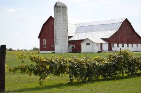 Red barn and grape vines