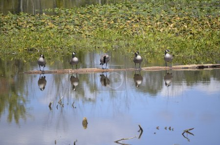 Canadian Geese Sunning on a Log