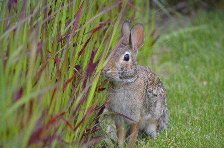Rabbit investigating ornamental grasses