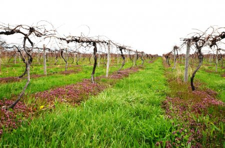 Private Vineyard in early spring season