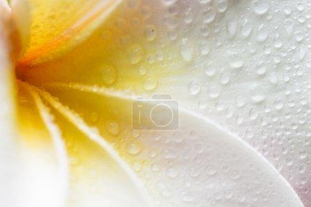 Photo pour Gros plan d'une fleur de plumeria blanche, jaune et rose avec des gouttes de rosée - image libre de droit