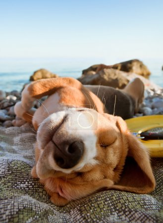 Photo for Sunbathing beagle puppy portrait lying at the sea coast - Royalty Free Image