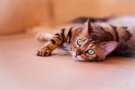 Bengal cat resting on the floor...