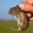 Vield vole (Microtus agrestis) kept in hand by res...