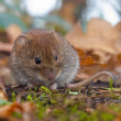 Bank vole (Clethrionomys glareolus) hiding between...
