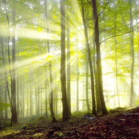 Photo pour Soleil du matin poutres dans la forêt de printemps floue. - image libre de droit