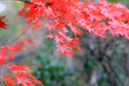 Japanese maple in Japan