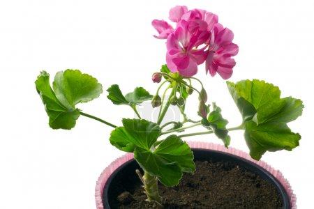 Closeup young plant of geranium in a pot, scion
