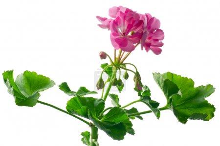 Closeup young plant of geranium, scion