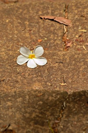 frangipani flower on ancient stone staircase