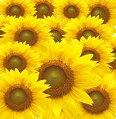 Krásné žluté slunečnice plátky closeup