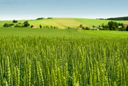Photo for Wheat field and countryside scenery - Royalty Free Image