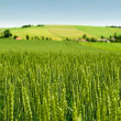 Wheat field and countryside scenery...