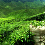 Green tea plantation landscape...
