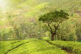 čajové plantáže krajina