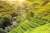 čajové plantáže slunce