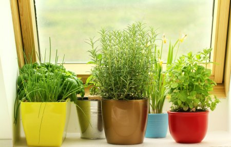 Photo for Herbs growing on window - Royalty Free Image