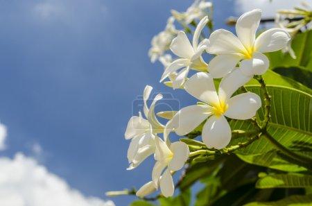 Photo pour Belle frangipani sur ciel bleu - image libre de droit