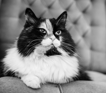 beautiful fluffy cat, black and white