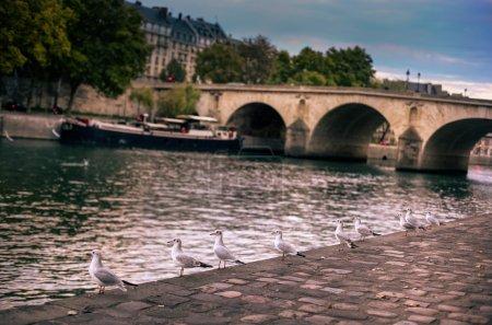 A few white gulls on the edge of the River Seine, Paris, France