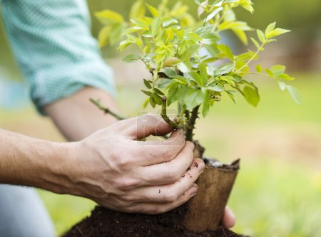 Male hands planting small tree