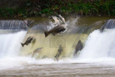 Salmon run in October...