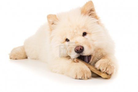 A young puppy chewing a bone isolated