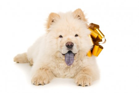 Chow chow puppy with a bow isolated