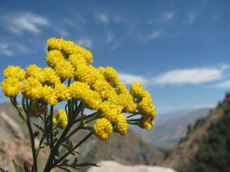 Tansy - mountain flower close-up on a background of mountains