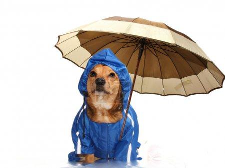 Photo pour Chien et parapluie bleu pluie - image libre de droit