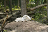 White wolf sleeping in the woods