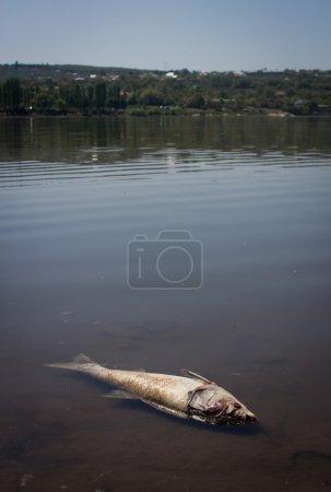 Dead fish in lake