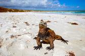 Marine iguana on the beach