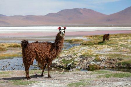 Photo pour Lama sur la Laguna Colorada, Bolivie - image libre de droit