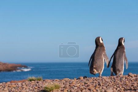 Magellanic penguin, Atlantic Coast, Patagonia...