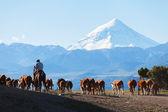 Gauchos and herd of cows
