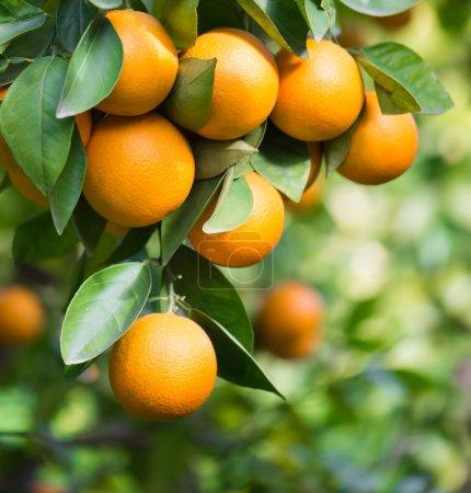 Photo pour Orangers avec des fruits sur la plantation - image libre de droit