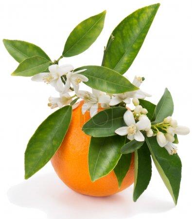 Photo pour Fruits orange avec feuilles et fleur isolé sur fond blanc - image libre de droit