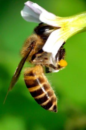 Photo pour L'abeille cueille le miel d'une fleur - image libre de droit