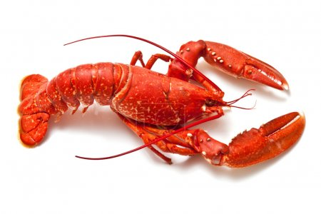 Cooked European common lobster isolated on a white...