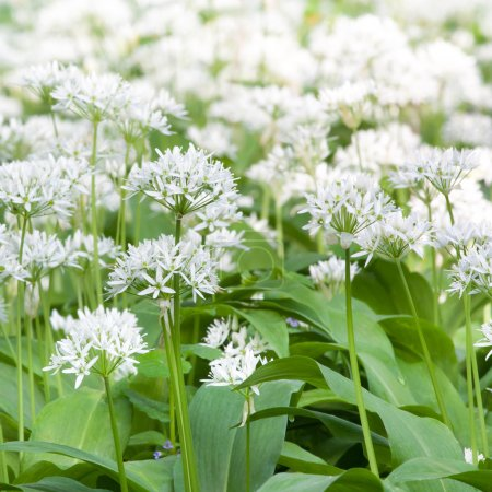 Photo for Wild garlic at the meadow - Royalty Free Image